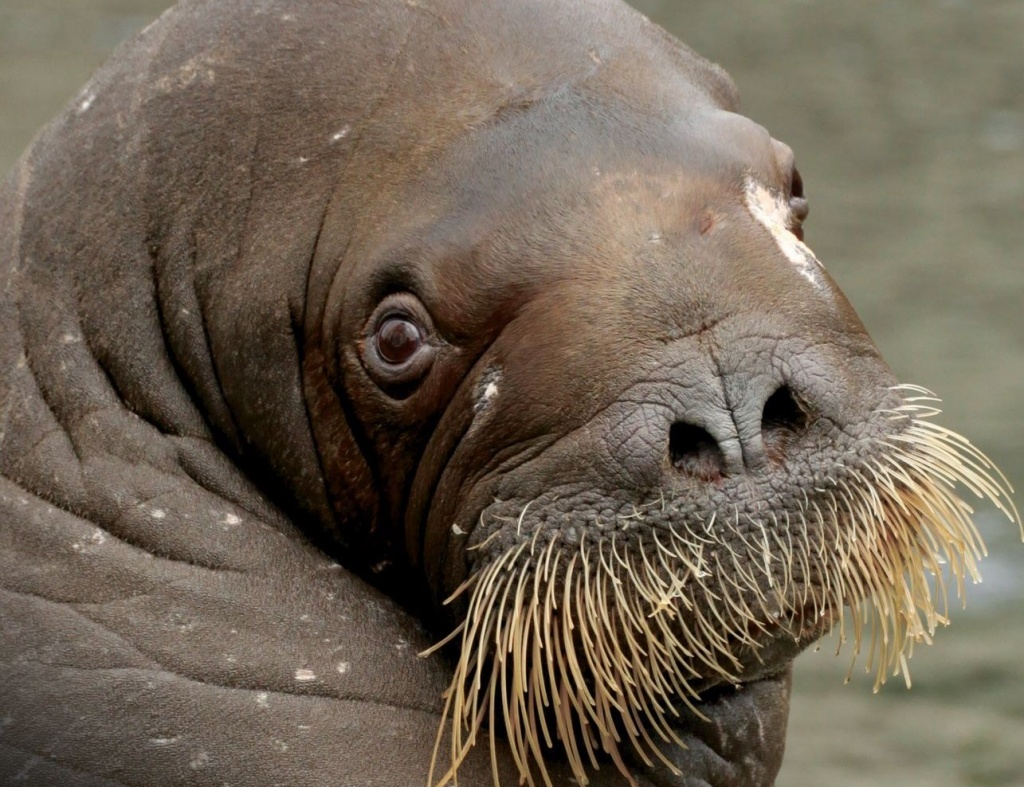 Фильм о спасенной моржихе покажут в воскресенье в кинотеатре «Поклонка»